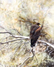 Harris's Hawk in the Snow