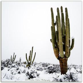 Saguaro in Snow