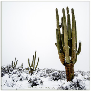 Saguaro in Snow