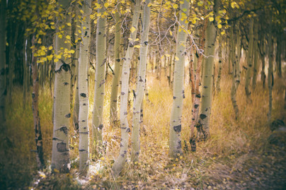 Young Aspen in Light
