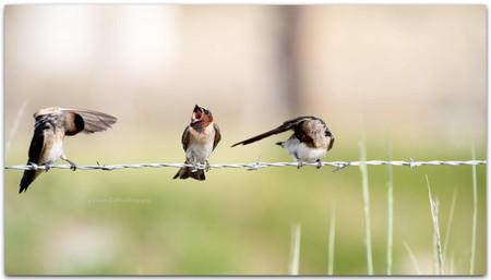 Cliff Swallow Trio