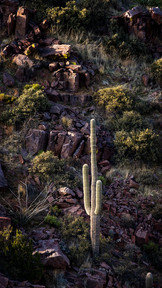 Canyon Saguaro
