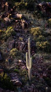 Canyon Saguaro