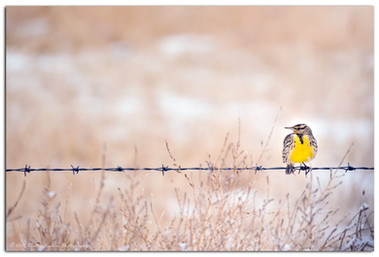 Meadowlark in Winter