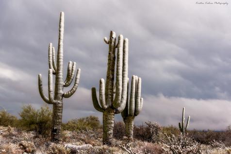 Snowy Saguaro