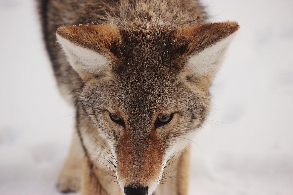 Fox hiver