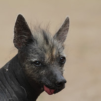 South America hairless dog
