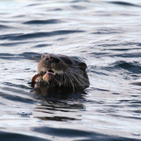 Scotish otter