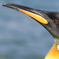 perfect King penguin