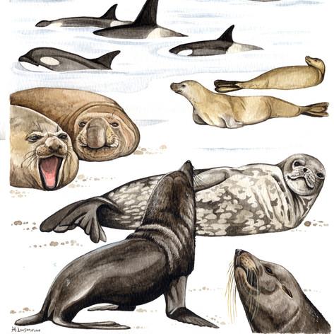 Antarctic Marine Mammals