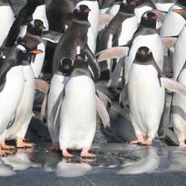 Gentoo penguin parade
