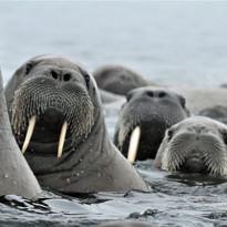 Walrus generations