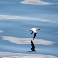 Gannet relfections