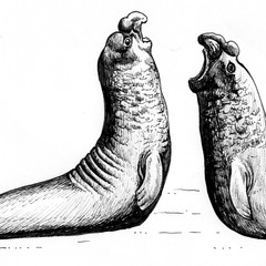 Elephant seal rivals - line drawings