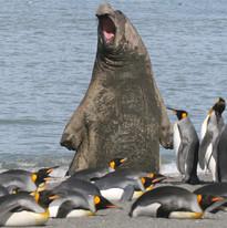 Opera singing elephant seal