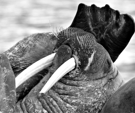 relaxed walrus
