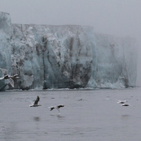 Glaucous gulls at glacier