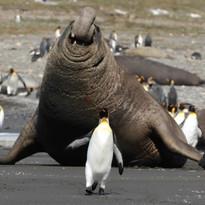 Elephant seal giant