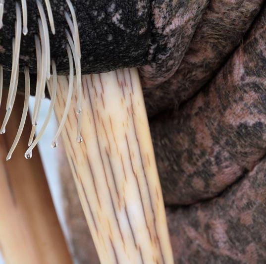 walrus detail