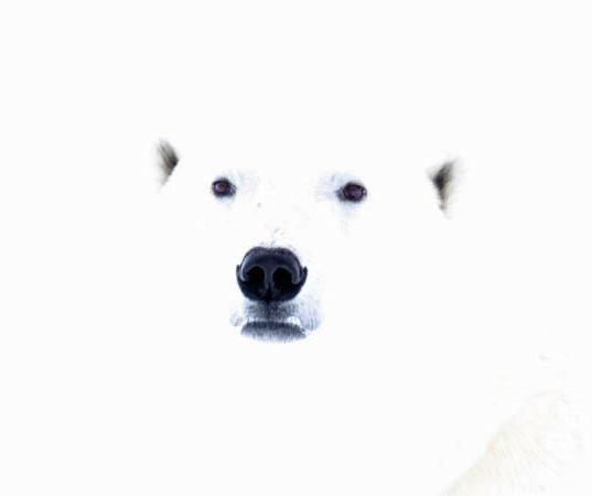 mysterious polar bear