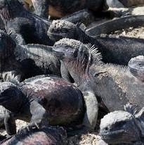 Marine Iguanas - Galapagos