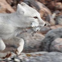 Arctic fox with kittiwake