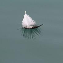 kittiwake feather