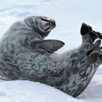 Weddell seal stretch