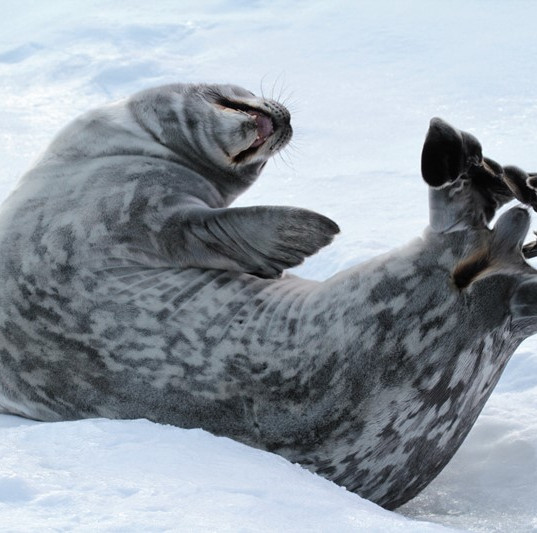 Weddell seal stretch