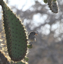 Galapagos Cactus Finch