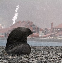 Fur seal at Stromness Whaling Station