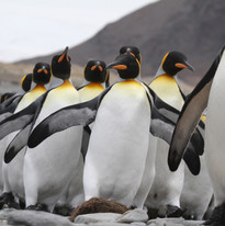 King penguin parade