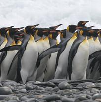 King penguin group