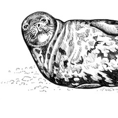 Weddell seal - line drawing