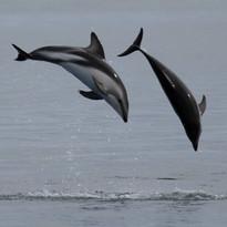 Dusky dolphin