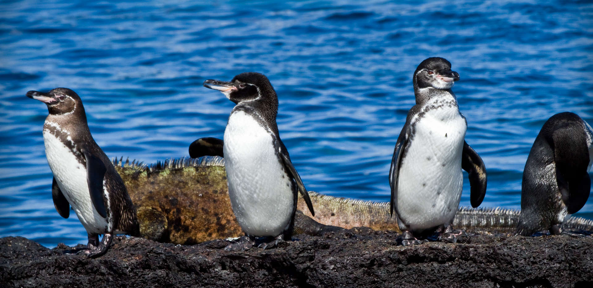 penguins-enjoy-nice-photo-galapagos-ecua