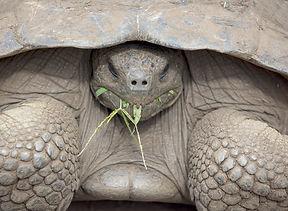 giant-tortoise-galapagos-turtle-ecuador-