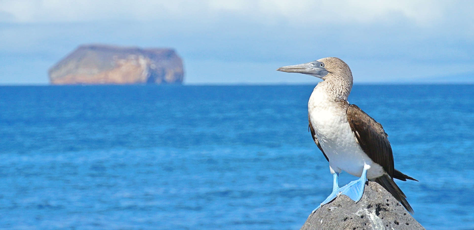 blue-footed-booby-galapagos-ecuador-wise