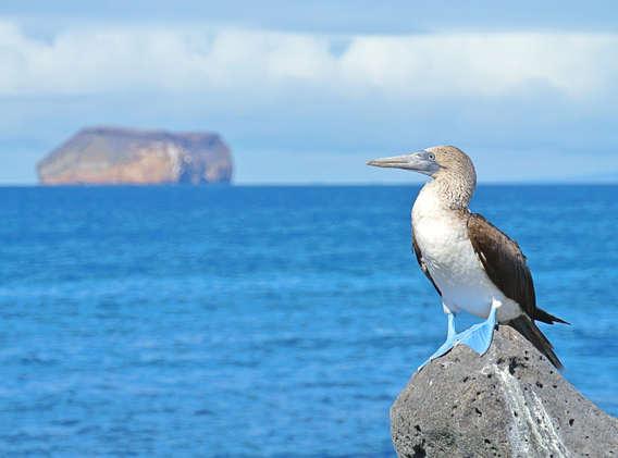 blue-footed-booby-galapagos-ecuador-wise