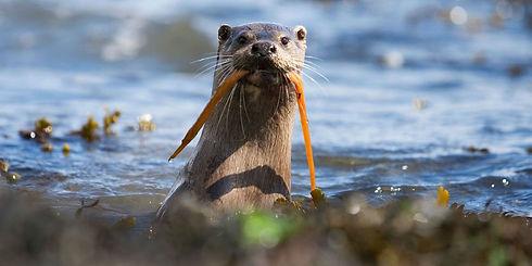 landscape-1507203016-otter-seaweed.jpg