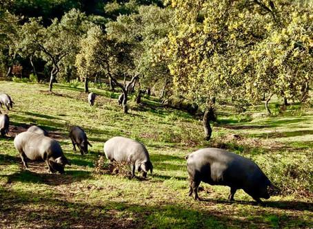 Norma de Calidad del Cerdo Ibérico