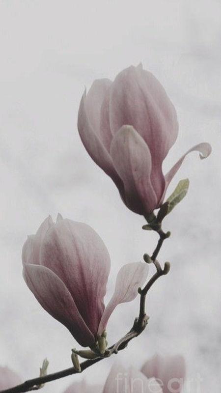 magnolia-flower-jelena-jovanovic_edited_