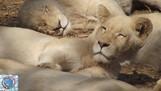 África do Sul: Pretória, Lion Park e Museu do Apartheid