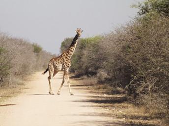 Safári em Kruger Park, na África do Sul