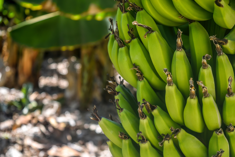 agriculture-banana-banana-tree-802783 (1)