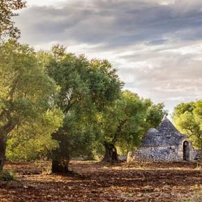 Apuliens Olivenhaine werden wieder grün