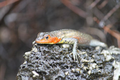 Lava lizard, Galapagos