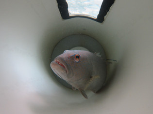 Coral trout (grouper) in respirometer