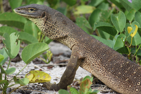 Goanna, Lizard Island