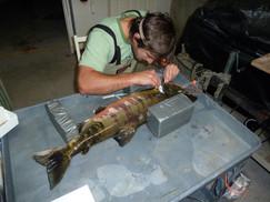 Implanting blood flow transmitter into chum salmon